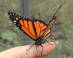 beautiful_Monarch_butterfly_by_butterfly_babe13