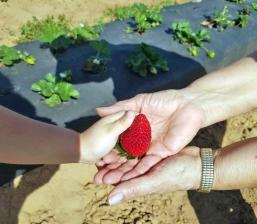 Strawberry new